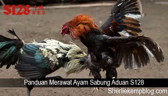 Panduan Merawat Ayam Sabung Aduan S128