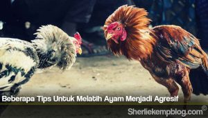 Beberapa Tips Untuk Melatih Ayam Menjadi Agresif