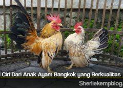 Kenali Ciri Dari Anak Ayam Bangkok yang Berkualitas
