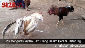 Tips Mengatasi Ayam S128 Yang Belum Berani Bertarung
