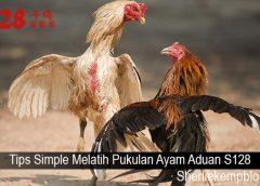 Tips Simple Melatih Pukulan Ayam Aduan S128